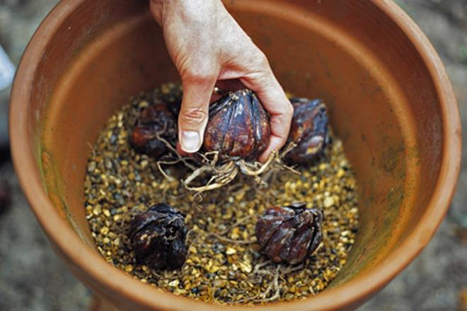 Лилейные луковицы
