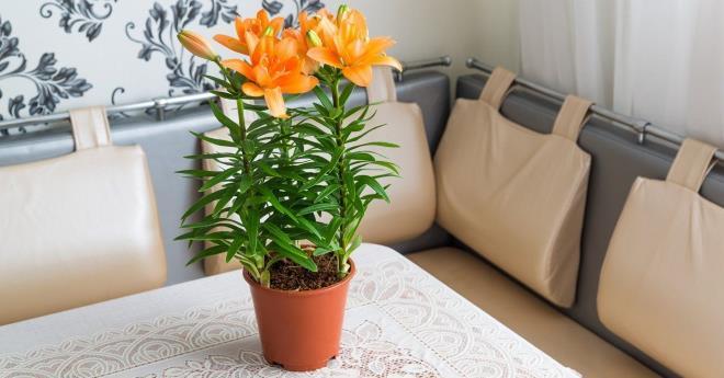 Лилии в домашних условиях