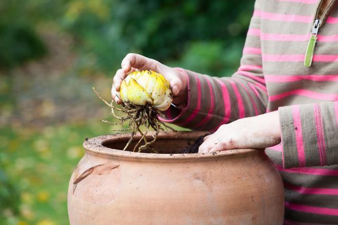 Белые луковицы