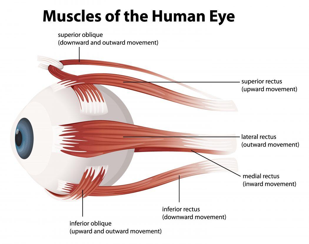 Топ 10 самых сильных мышц в теле