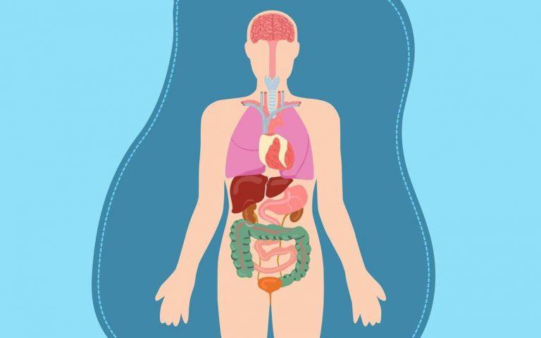 Какой самый большой человеческий орган?