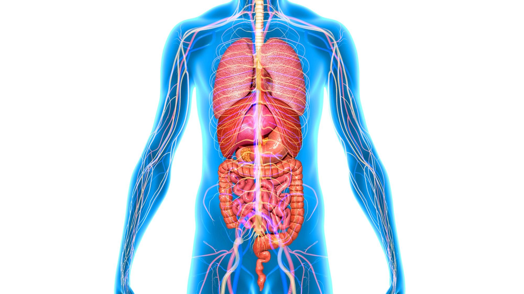 Картинка органы тела