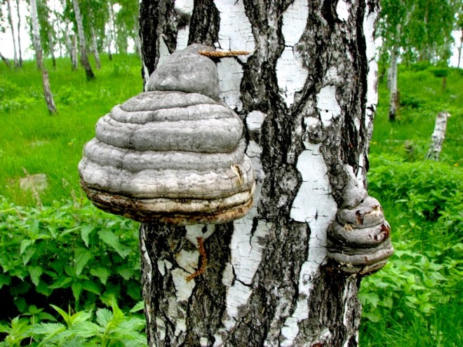 Как правильно заваривать и принимать гриб чага: полезные свойства
