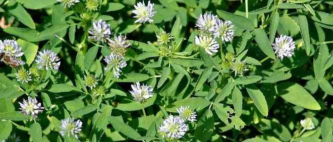 Хельба: полезные свойства и противопоказания травы и семян